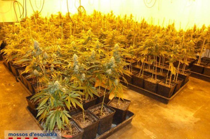 Dentingut un veí de Llagostera amb 300 plantes de marihuana
